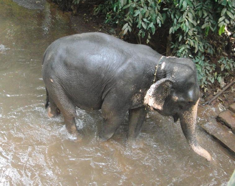 einer der 4 Elefanten der Spice-Farm