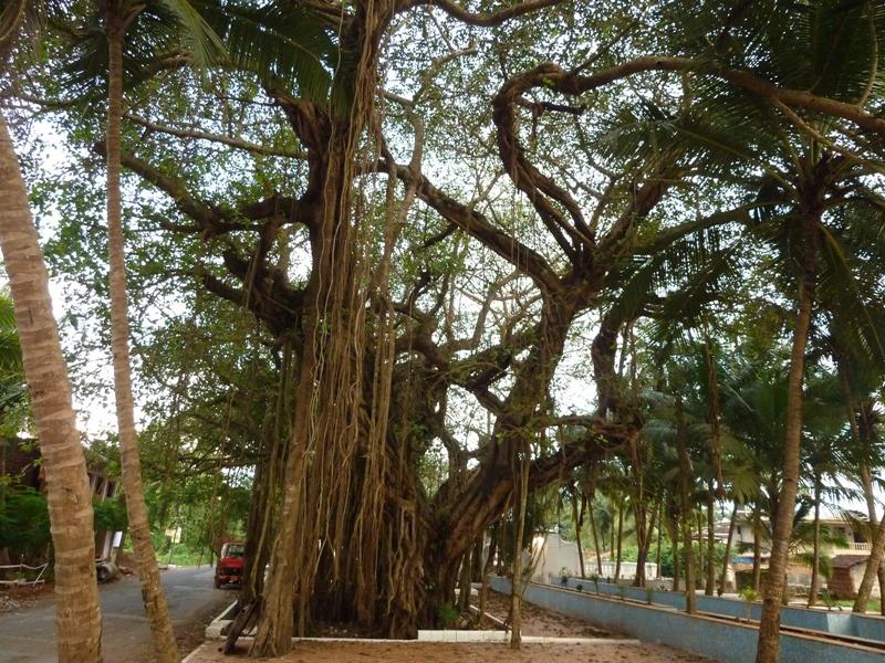 ...toller Baum am Weg vom Varca Beach zurueck zumr Unterkunft...