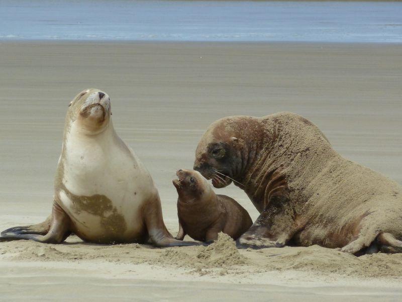 ...kleine suesse Seeloewen-Family :)), Surat Bay an der Catlins Coast