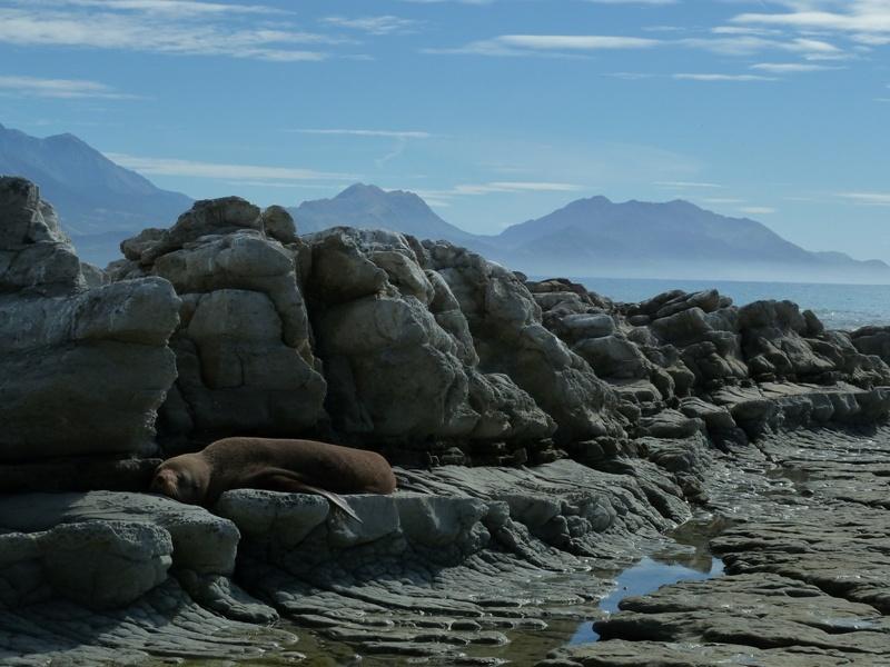 """...faule Robben an der Kueste der """"Kaikoura Peninsula"""""""