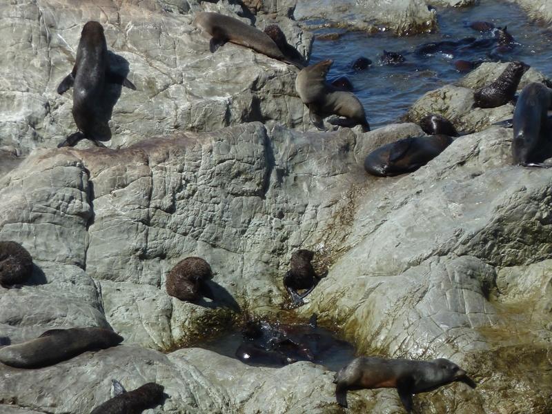 """Robbenkolonie bei """"Ohau Point"""", auf der Fahrt entlang der Ostkueste Richtung Picton"""