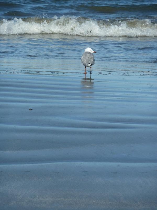 Moewe in der Martin's Bay